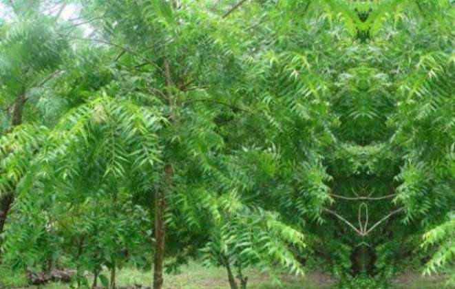 Photo of Treatment Through Neem